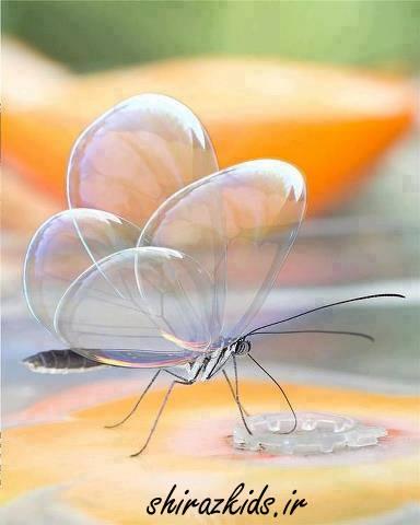 شفاف ترین پروانه روی زمین!(عکس زیبا)